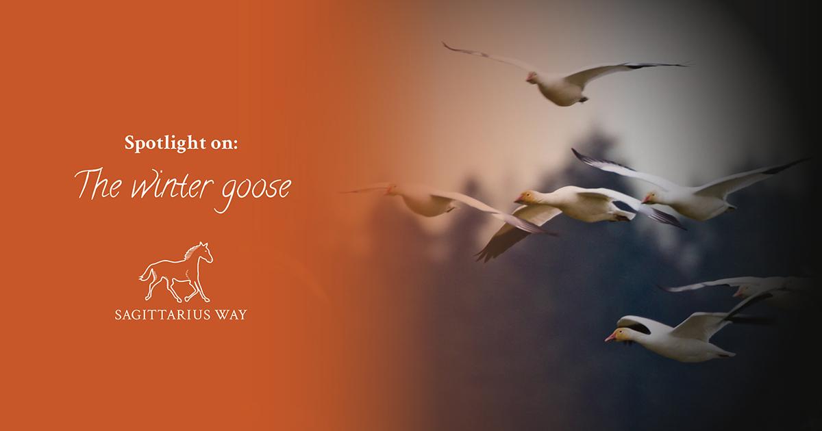 Winter geese in flight